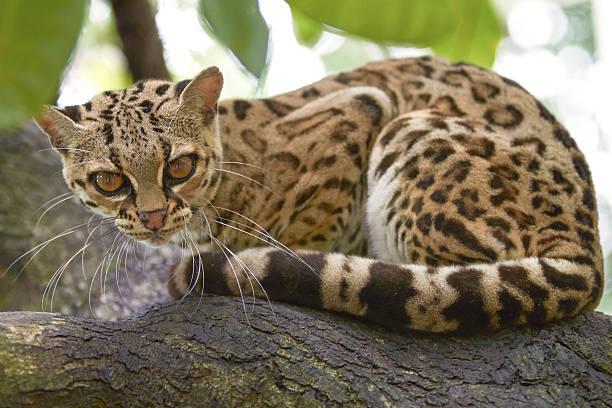 margay sitiing su la filiale nella foresta tropicale - ocelot foto e immagini stock