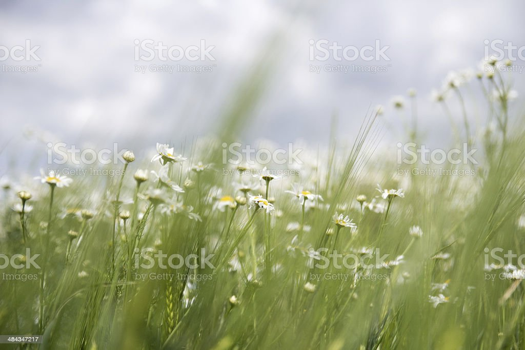 Margeriten in Landschaft stock photo