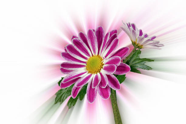 Margerites (Leucanthemum) against an abstract background stock photo
