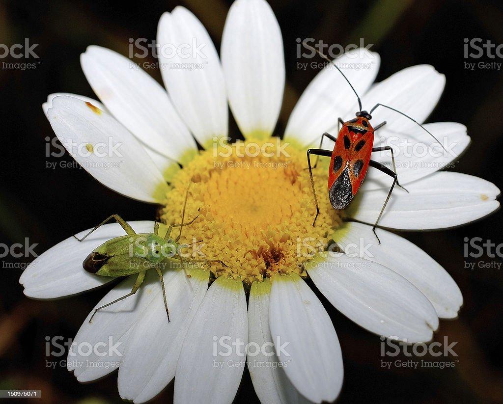 Margherita con insetti royalty-free stock photo