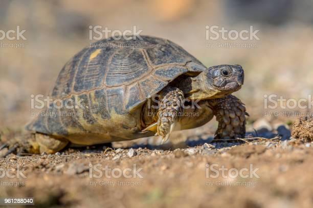 Marginated tortoise walking picture id961288040?b=1&k=6&m=961288040&s=612x612&h=ouk ew2layalqmvz5bb0nf6nfzsplvjgagf1qnx8rfg=
