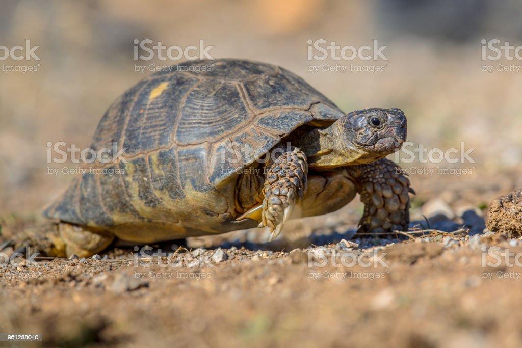 Marginated tortoise walking stock photo
