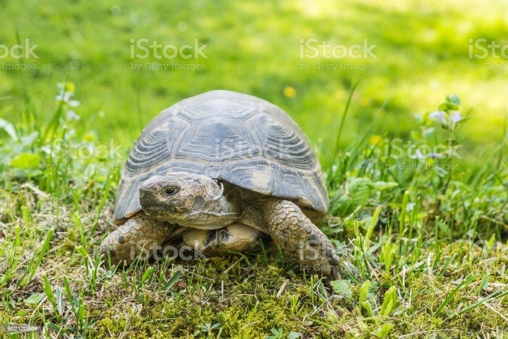 Margined turtle (Testudo marginata sarda) in a green meadow. Typical turtle of Sardinia stock photo