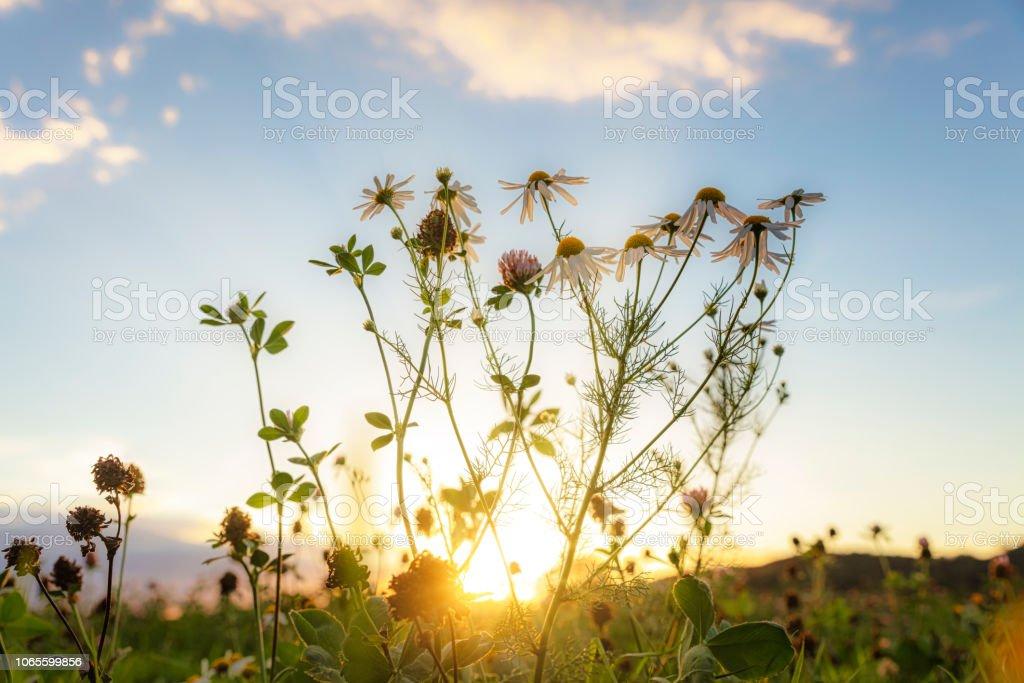 Marguerite och klöver i solnedgången ljus bildbanksfoto