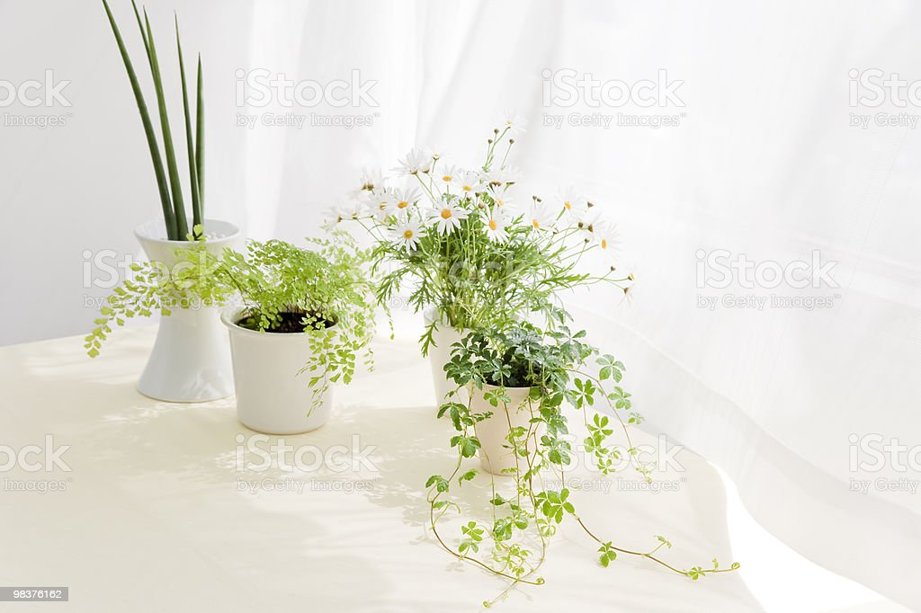 Marguerite and foliage plant put on table royalty-free stock photo