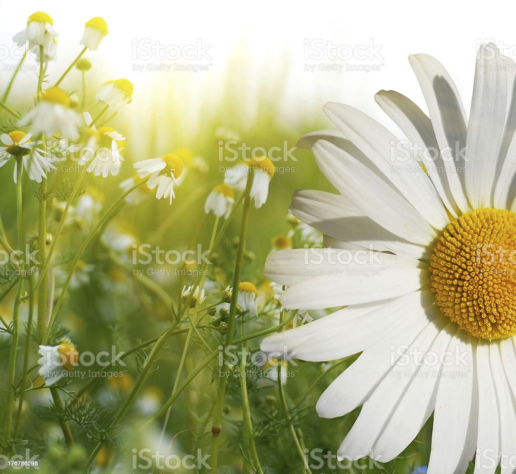 Marguerite close up royalty-free stock photo