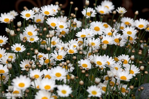 marguerite - daisy flowers