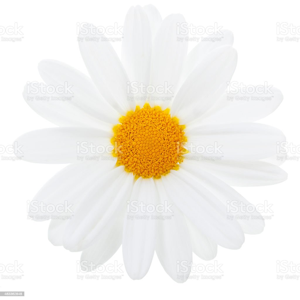 Marguerite Daisy isolated with clipping path stock photo