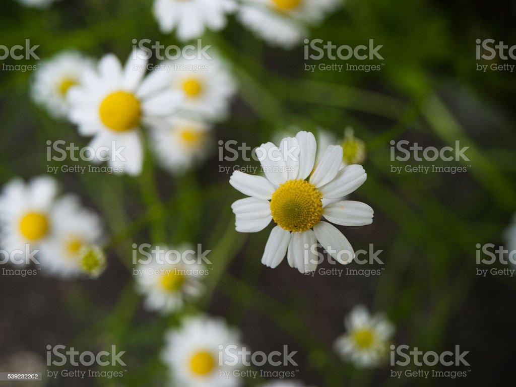 Marguerite - Daisy royalty-free stock photo