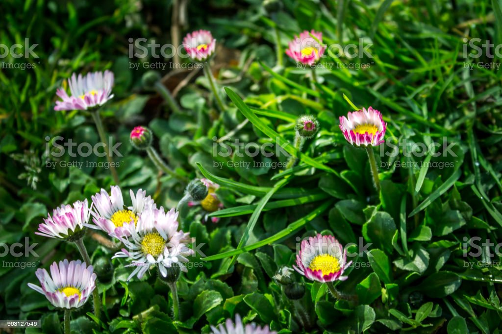 Marguerite daisy, våren - Royaltyfri Blomma Bildbanksbilder