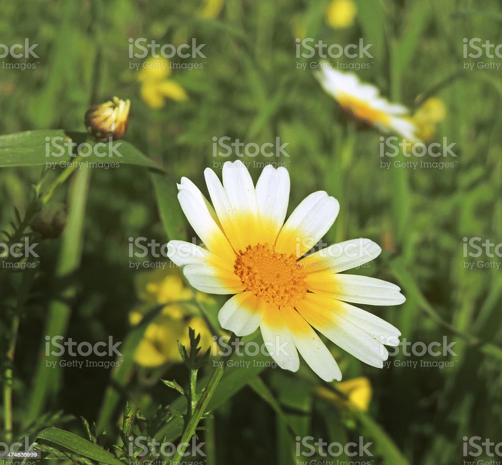 marguerite field royalty-free stock photo