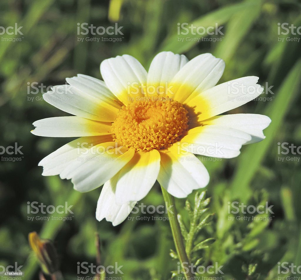 marguerite flower head royalty-free stock photo