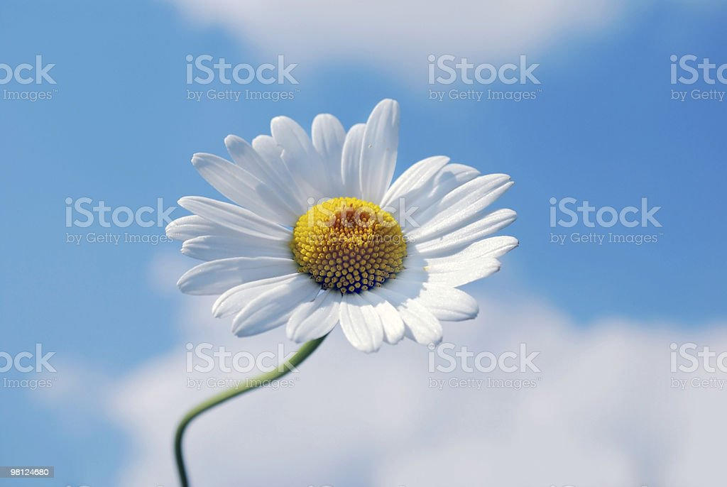 marguerite flower royalty-free stock photo