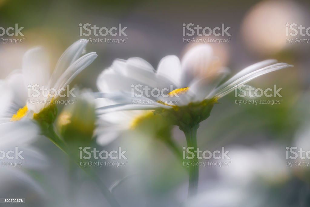 marguerite flowers in close up stock photo