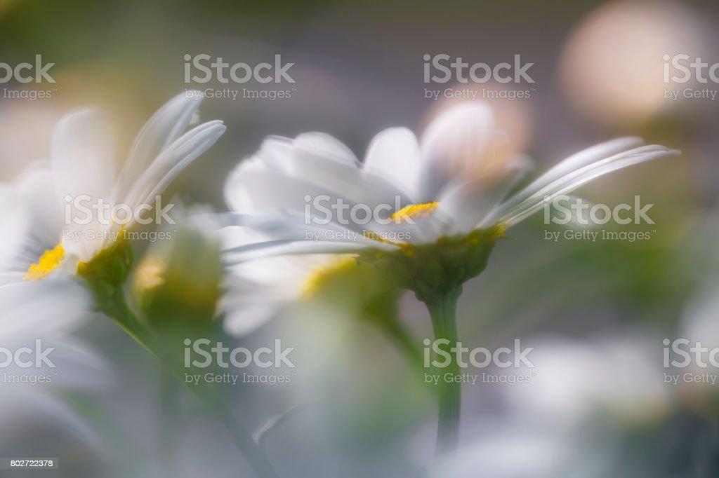 Marguerite blommor i närbild bildbanksfoto