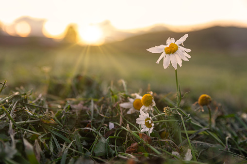 Marguerite and clover in sunset light