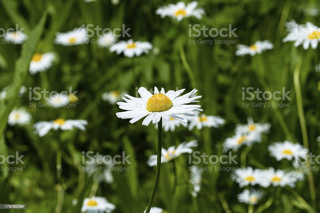 Marguerite royalty-free stock photo