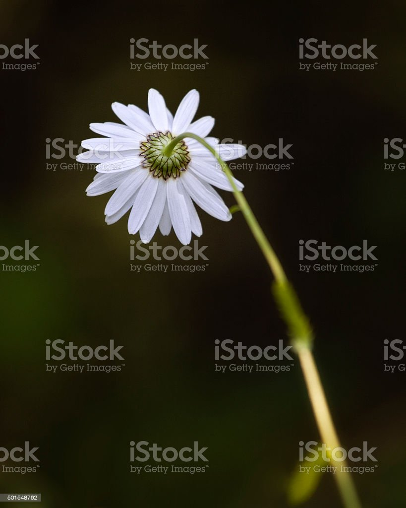 Marguerite stock photo