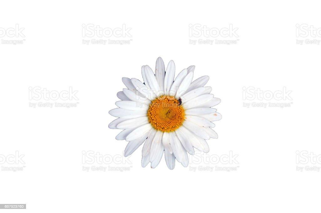 marguerited flower isolated on white background stock photo
