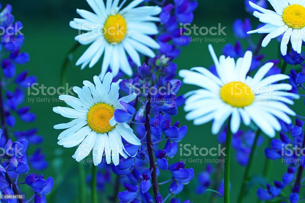 Marguerites and blue lupins royalty-free stock photo