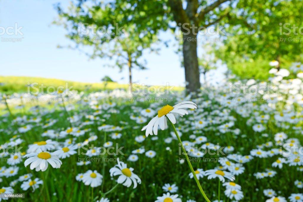 Margeriten im Frühjahr - Österreich – Foto