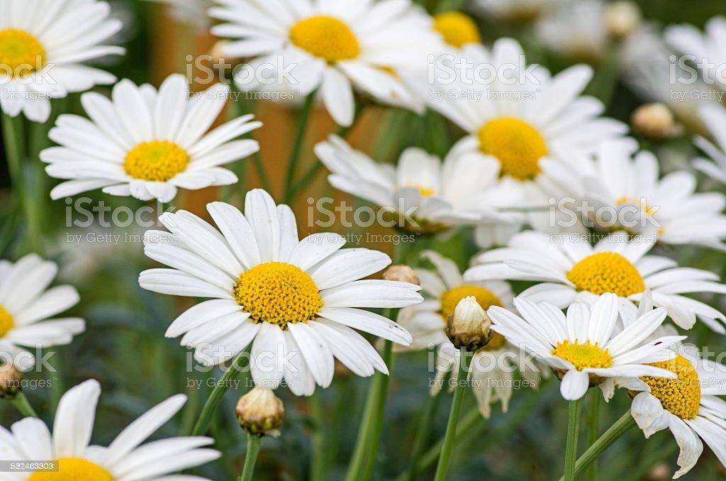 Marguerites in the summer sun stock photo