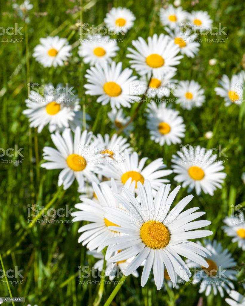 Marguerites stock photo