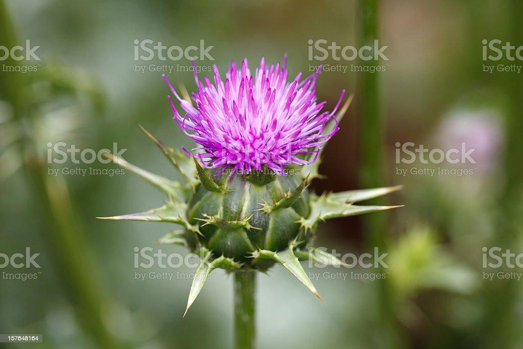 Marian thistle flower (Silybum marianum) stock photo