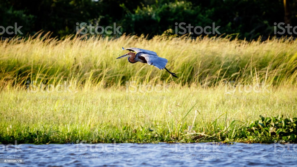 A maribou stork gliding down the shore of the Nile stock photo
