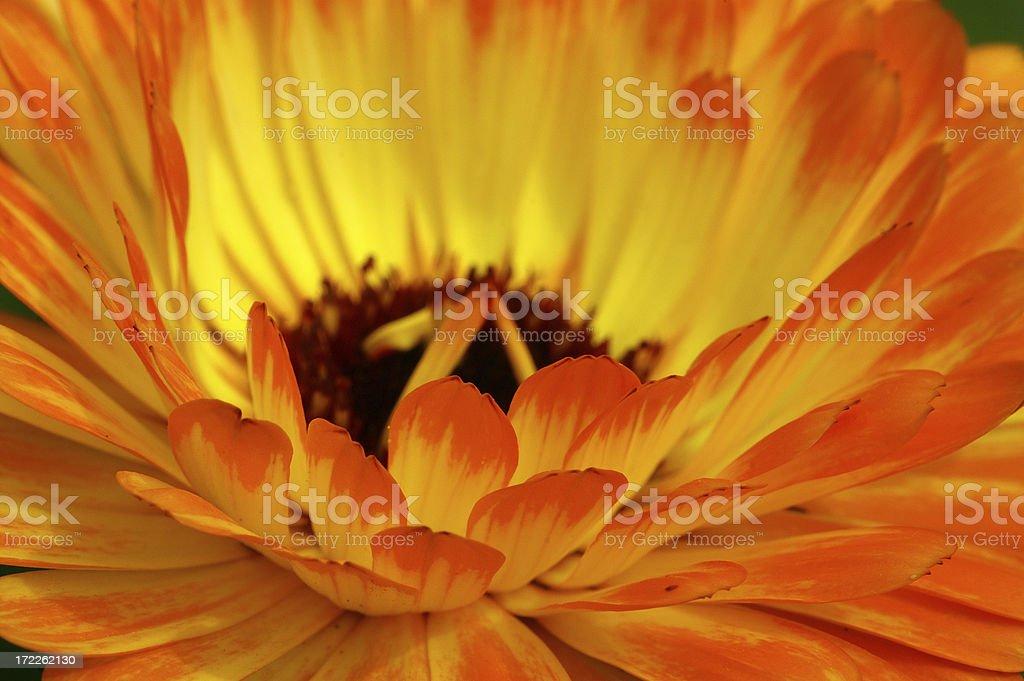 Marigold 3 royalty-free stock photo