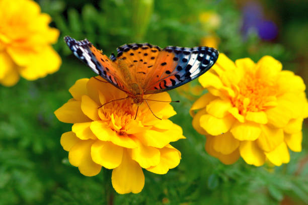 Marigold and Fritillary Butterfly stock photo