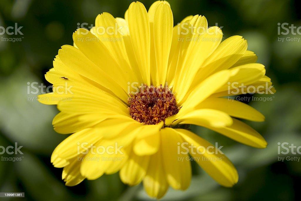 Marigold blossom stock photo