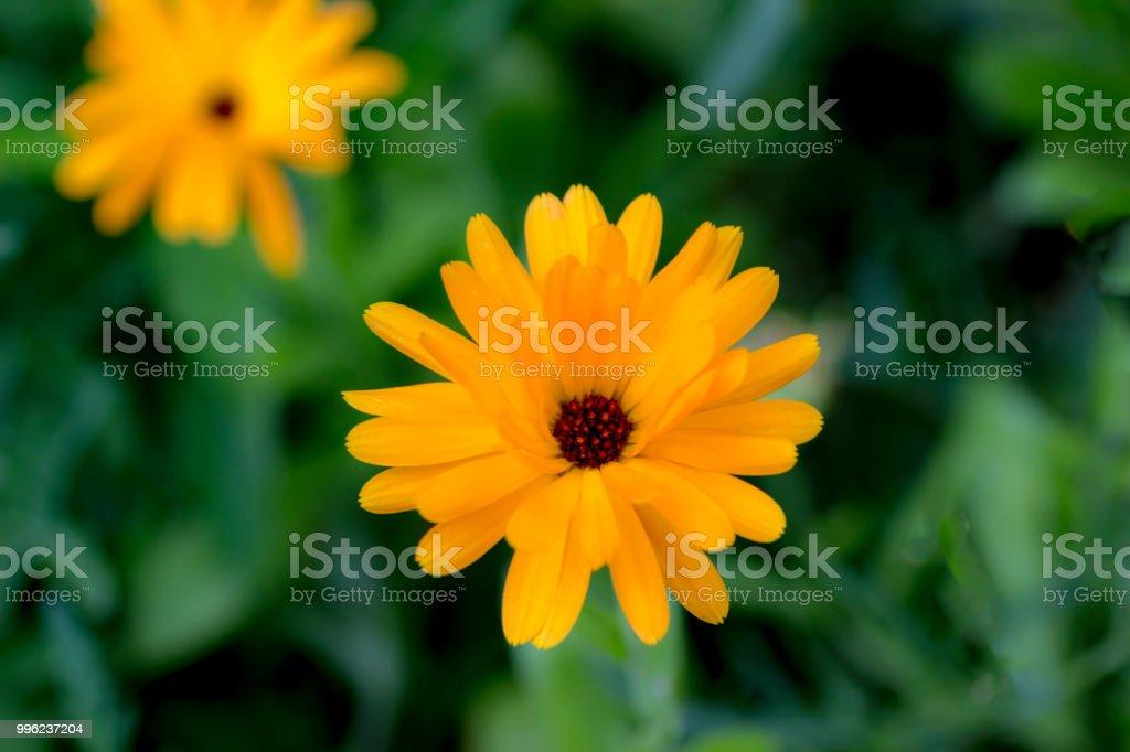 Marigold Calendula flowers stock photo