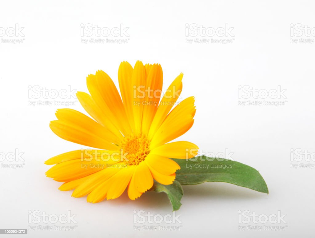 Calêndula - Calendula Officinalis - foto de acervo