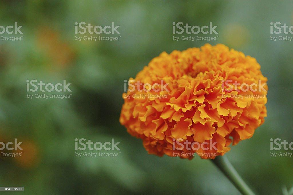 Studentenblume Blumen, Nahaufnahme – Foto