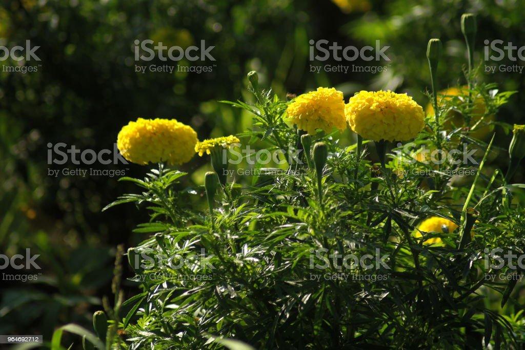 Marigold Flower Field royalty-free stock photo