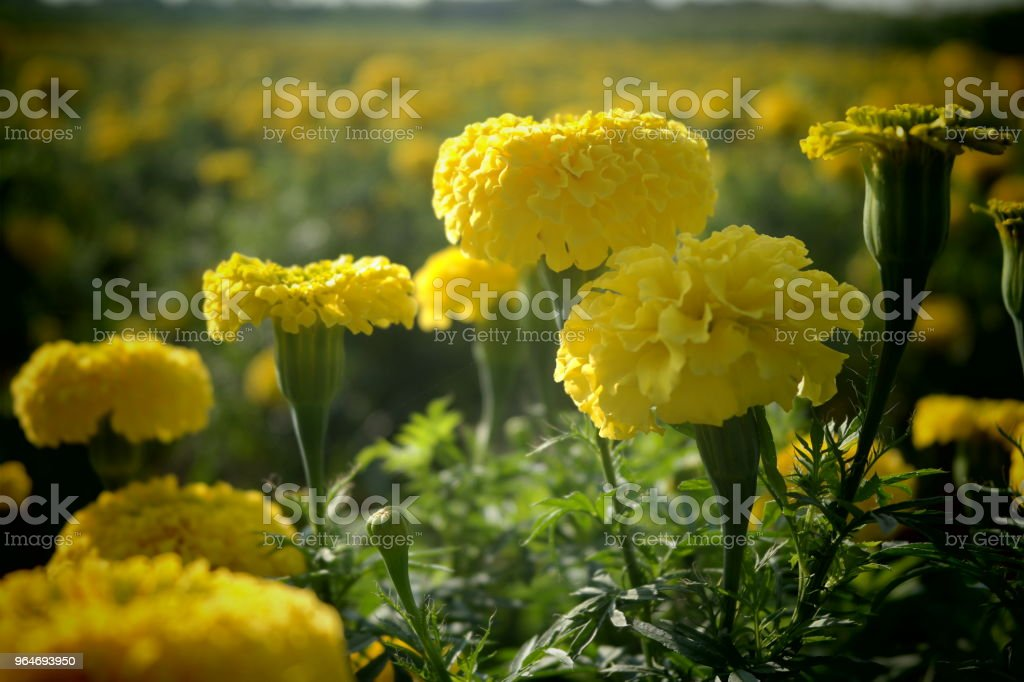 Marigold Flower Field royalty-free stock photo