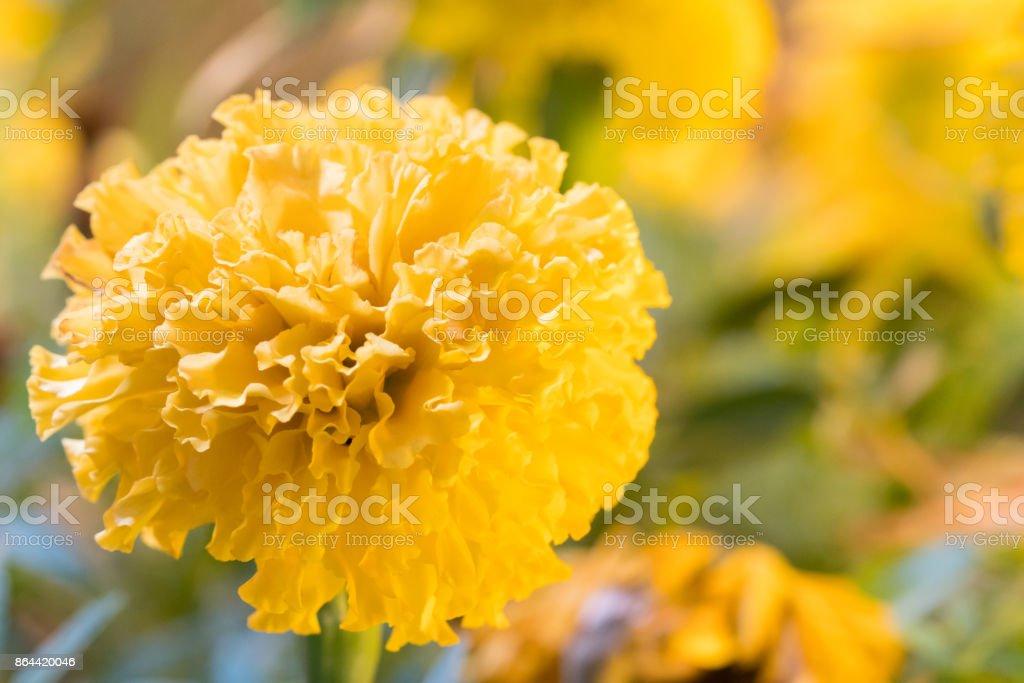 Marigold flower Full bloom. stock photo