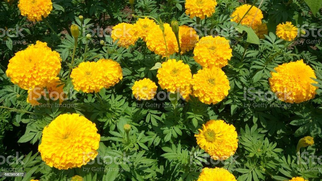 Marigold flower garden. royalty-free stock photo
