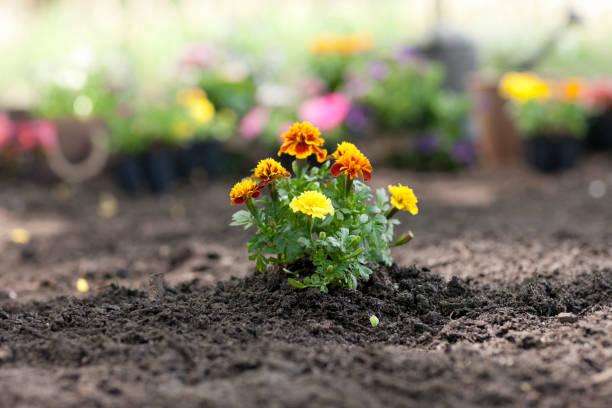 goudsbloem bloem in de tuin - fresh start yellow stockfoto's en -beelden