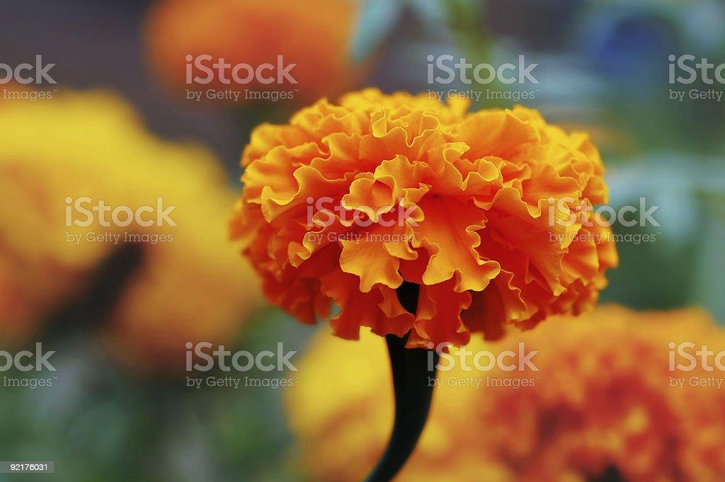 Ringelblume-Blume im Garten – Foto