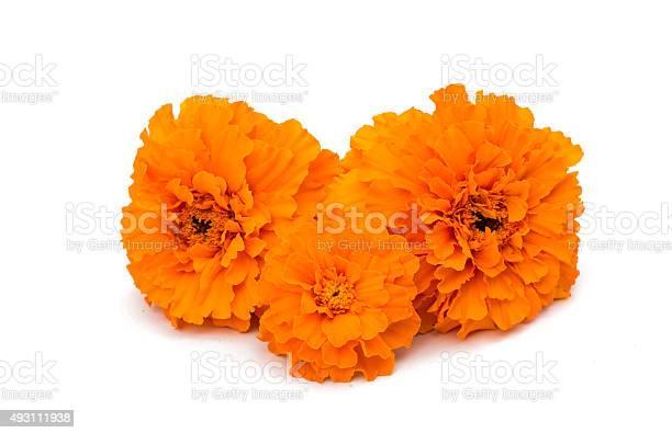 Marigold flower picture id493111938?b=1&k=6&m=493111938&s=612x612&h=4rtobqkbtzh61biakb0sdvnqj5 ahfcwhwk l1yrljw=