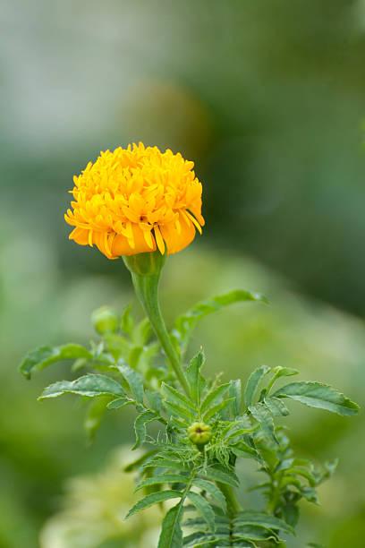 Ringelblume-Blume – Foto