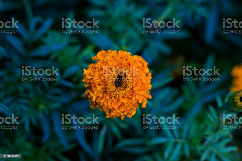 Marigold flower Sep 2018 New stock photo