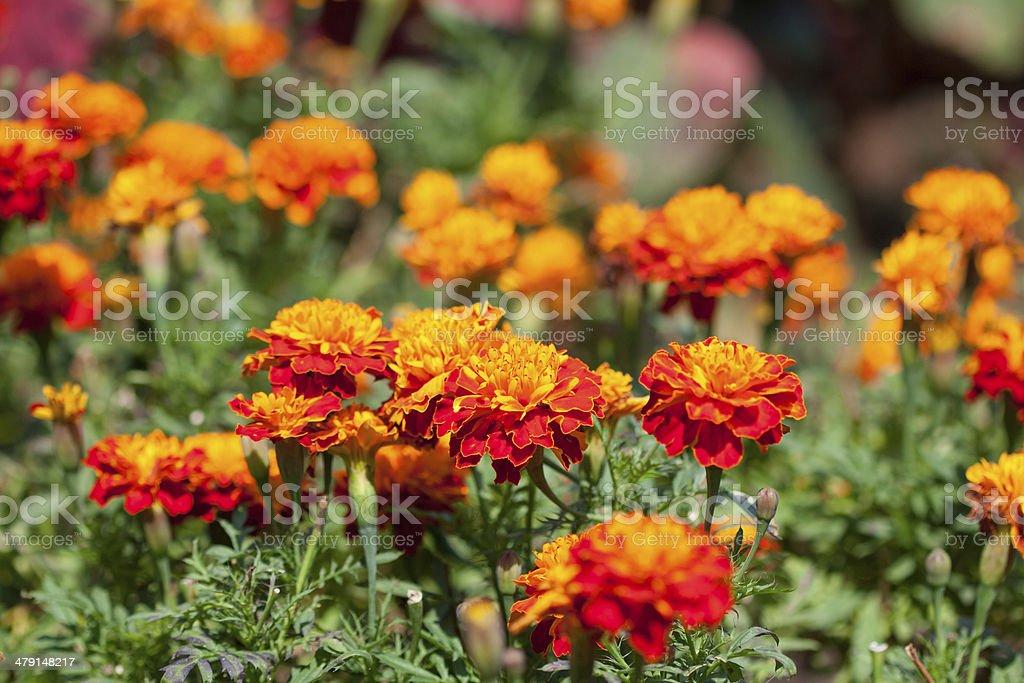 Marigold flowers background stock photo