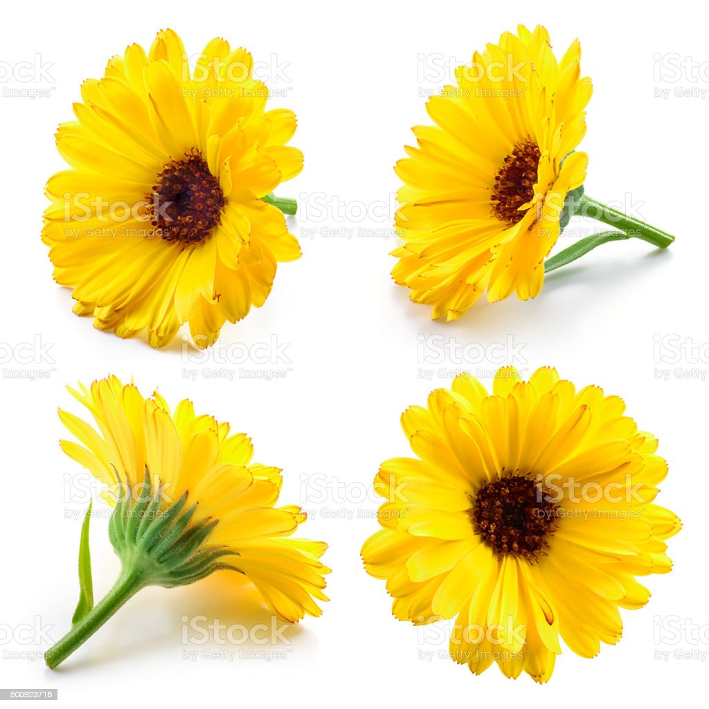 Marigold flowers. Calendula isolated on white. Collection. stock photo