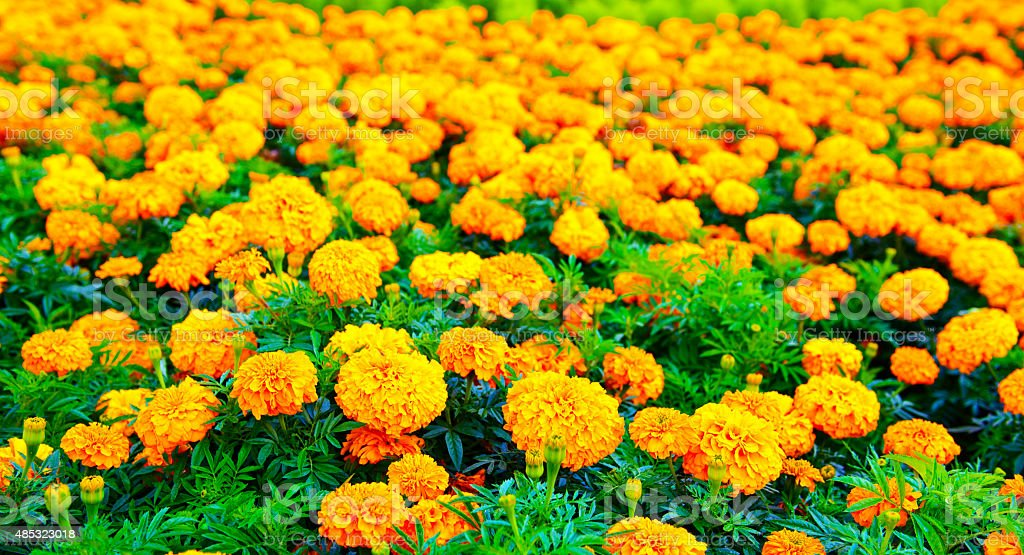 Marigold flowers field stock photo