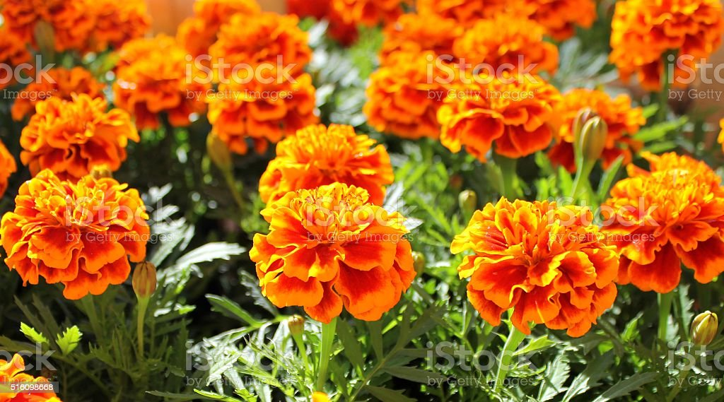 Marigold flowers in a pot stock photo
