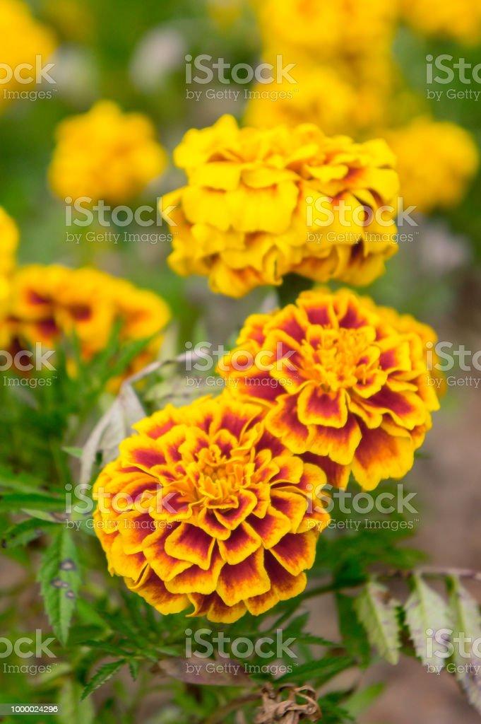Marigold flowers in the garden on summer yellow flowers beautiful marigold flowers in the garden on summer yellow flowers beautiful flowers on summer in mightylinksfo