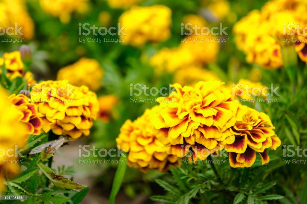 Ringelblumen Im Garten Am Sommer Gelben Blüten Schöne Blumen Im